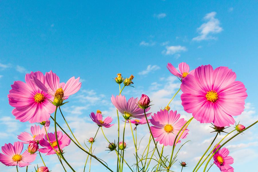 秋空の下の鮮やかなピンク色のコスモス