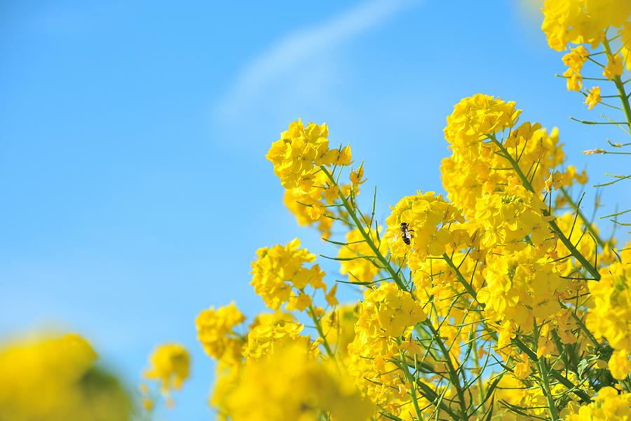 青空の下の黄色い菜の花