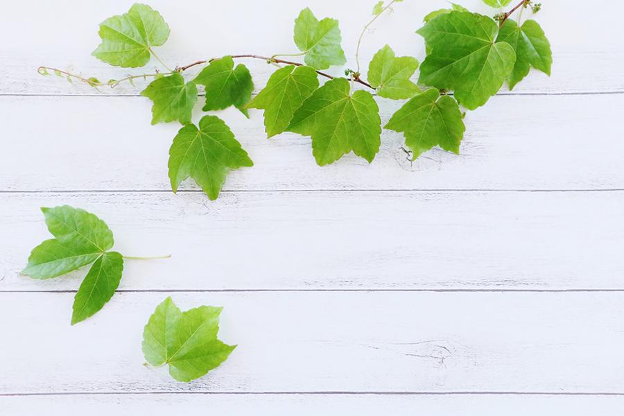 初夏をイメージさせるツタの葉