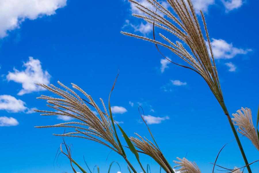 秋の青空とススキの写真