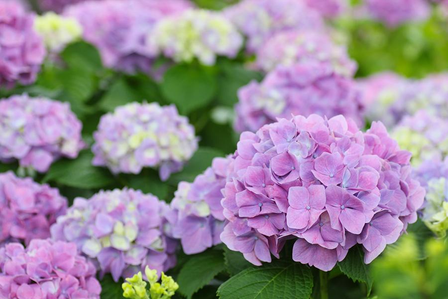梅雨のイメージのあじさいの花